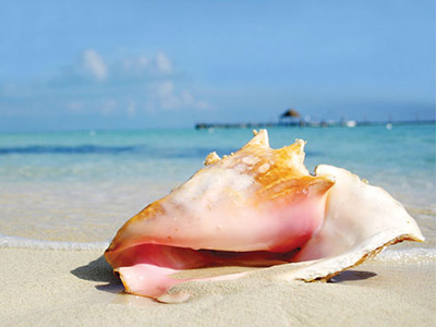 Turks and Caicos Conch Shell